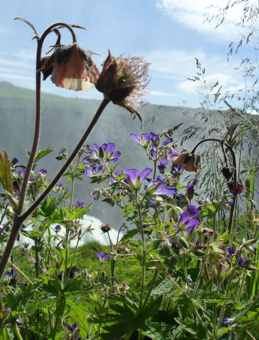 Wildflowers, Gullfoss